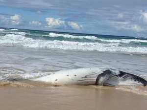 Dingo and dead whale calf