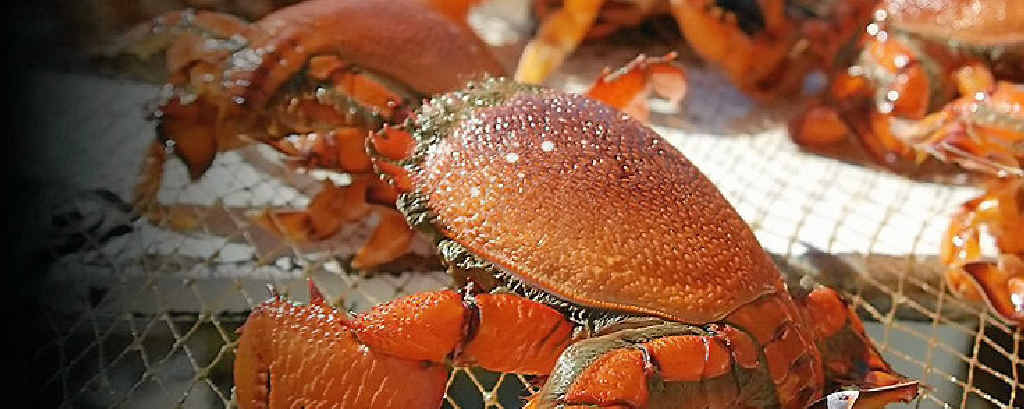 These delicious crabs are favourites in many top international restaurants.