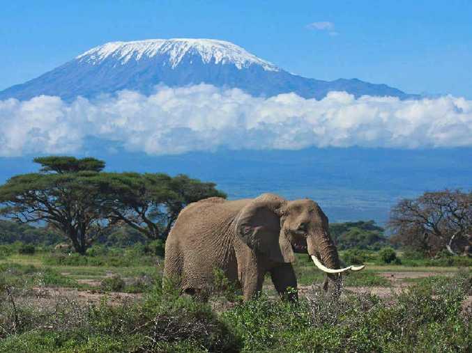 Elephant matriarch in front of Mount Kilimanjaro, Tanzania.
