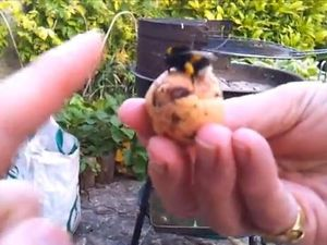 Bumble bee gives man a high five on video