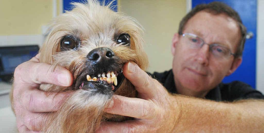 Silkstone Veterinary Hospital director Tony Snell checks the condition of Finn's teeth.