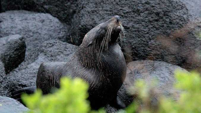 The New Zealand fur seal at Greenmount.