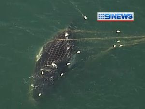 Whale freed from shark nets off Noosa Beach
