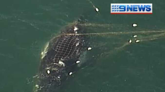Image from the Channel 9 helicopter show the whale trapped in shark nets.