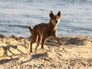 Fraser Island dingo group calls for an end to ear tagging
