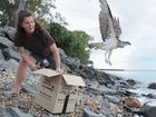 Osprey released back into the wild after having fishing line and hooks removed. Wildlife carer Marie Barnes releases the bird back to its territory in Urangan.