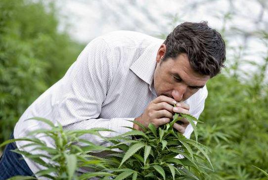 Former medical lawyer Norton Arbelaez assesses his cannabis plants