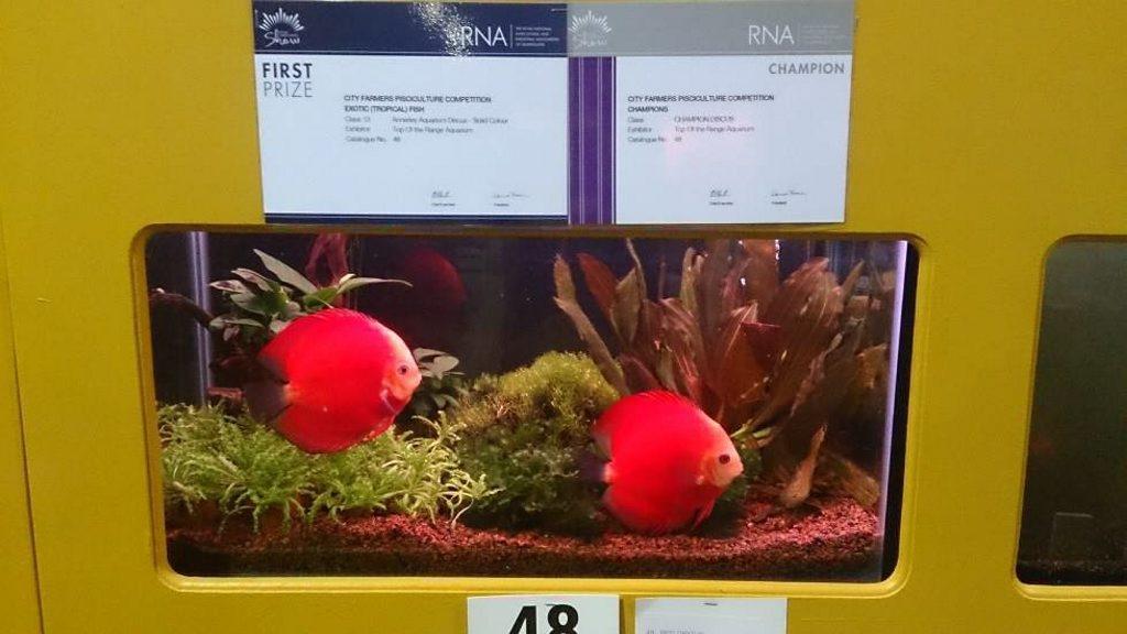 Toowoomba fish breeder Vicki Ireland won Champion Discus in Show at the Ekka with her blushing red discus.