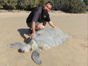 Dead green turtle about 80-90 years old washes up at Urangan