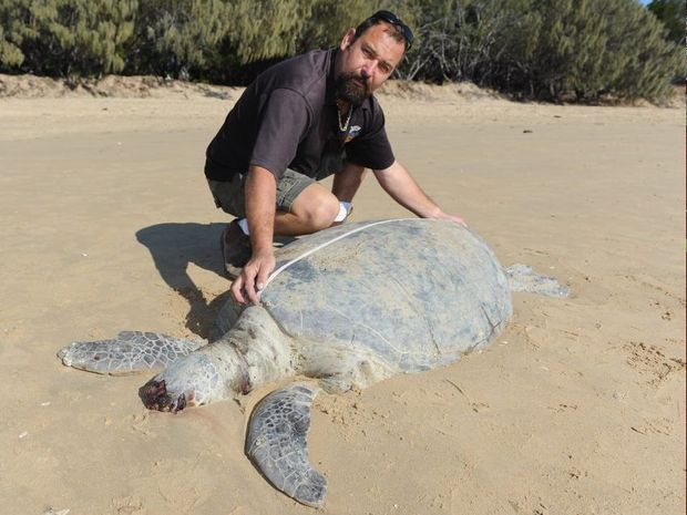 Reefworld owner Greg Wolff measures the shell of a green turtle that has washed up on the beach at Urangan.