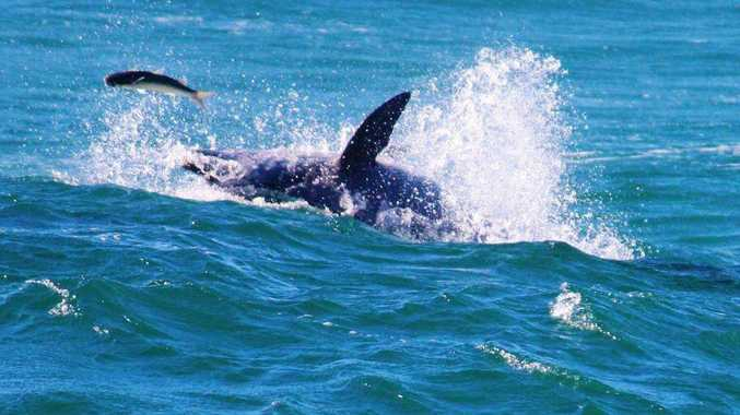 A dolphin chases a fish at Duranbah Beach.