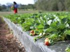 Strawberry farms have become the target of the Fair Work Ombudsman.