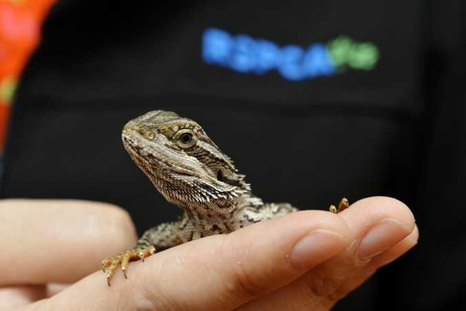 Aragon a Central Bearded Dragon.The RSPCA has introduced reptiles to its rehoming centre at Wacol due to a new partnership with the Department of Environment and Heritage.