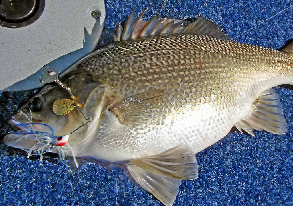BIG BASS: Australian bass are released into CQ dams for recreational fishers.