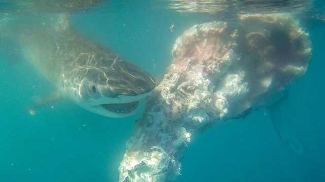 A shark feeds on the carcass of a baby whale in the Whitsundays. Image: Ocean Rafting