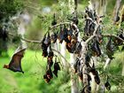 Bats from the Gympie region have tested positive to the lyssavirus.