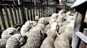 PENNING UP: Sheep are yarded ready for shearing at Allum Rock.
