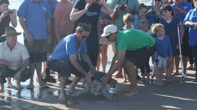 BYE BYE BYRON: Australian Seabird Rescue release Demi at Main Beach, Byron Bay.