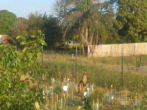 Kangaroo finds feeding ground in suburban Pialba