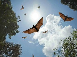 Flying fox roosts face the chop at Bicentennial Park