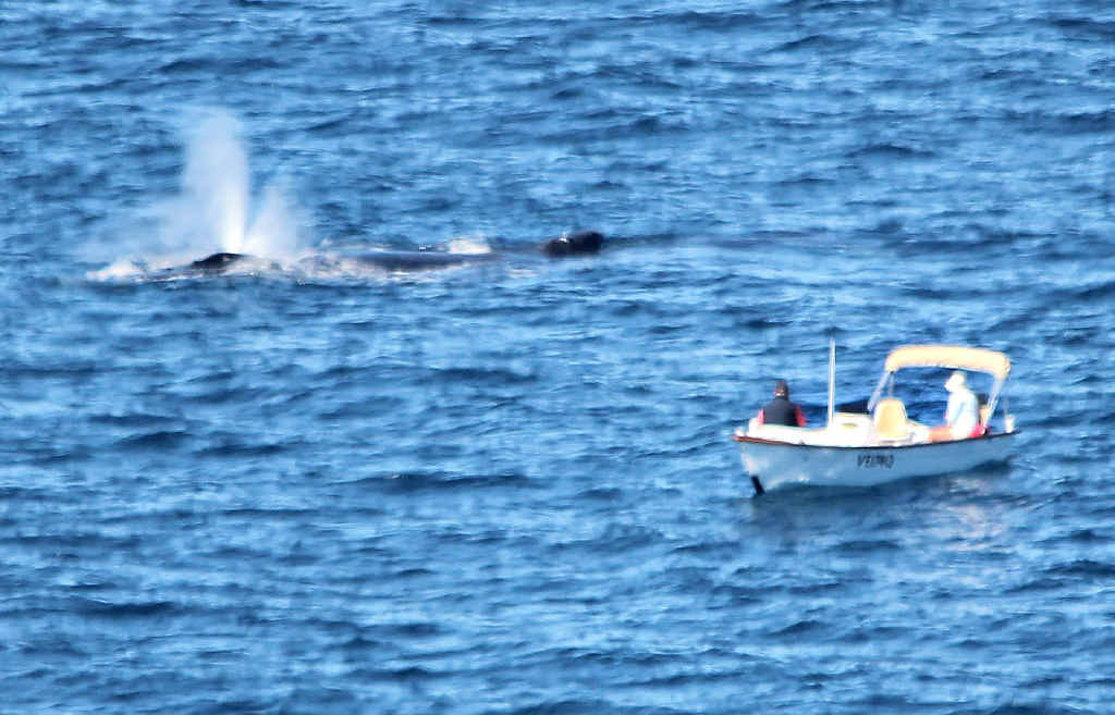 SOMETHING SPECIAL: Fishermen watch a mother whale after she has just given birth off Sunshine Beach yesterday.