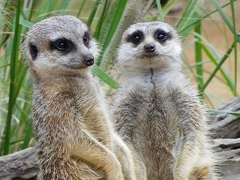a couple of meerkats at Taronga Zoo Sydney. Photo: Contributed
