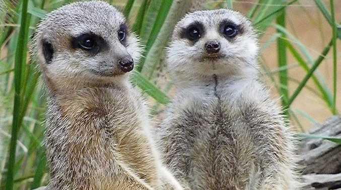 a couple of meerkats at Taronga Zoo Sydney. Photo: Contributed
