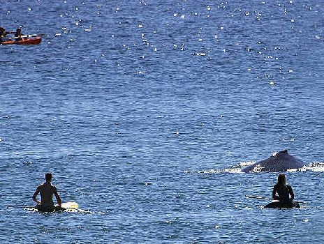 CLOSE ENCOUNTER: Surfers at Wategos, including Byron Bay's Roisin Carolan (far right) got very close to a baby humpback whale.