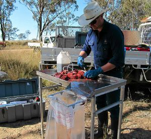 Craig Magnussen injects baits with 1080 at the council baiting station.