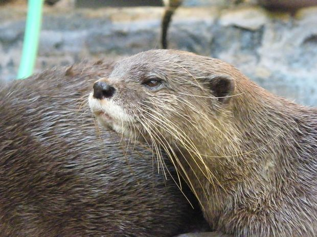 Curly the otter has just been transferred to Cairns Wildlife Safari Park with his mate Larry from Underwater World.