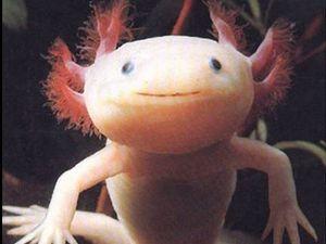 An axolotl