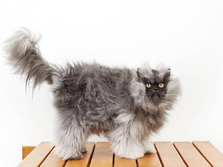 Colonel Meow - the cat with the longest fur in the world.