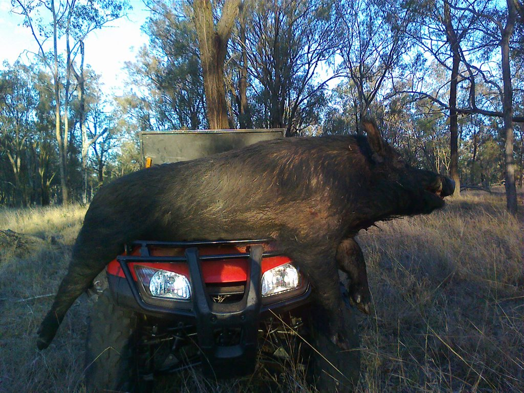 ERADICATION: Authorities are clearing Curtis Island of wild pigs, dogs, and cattle.