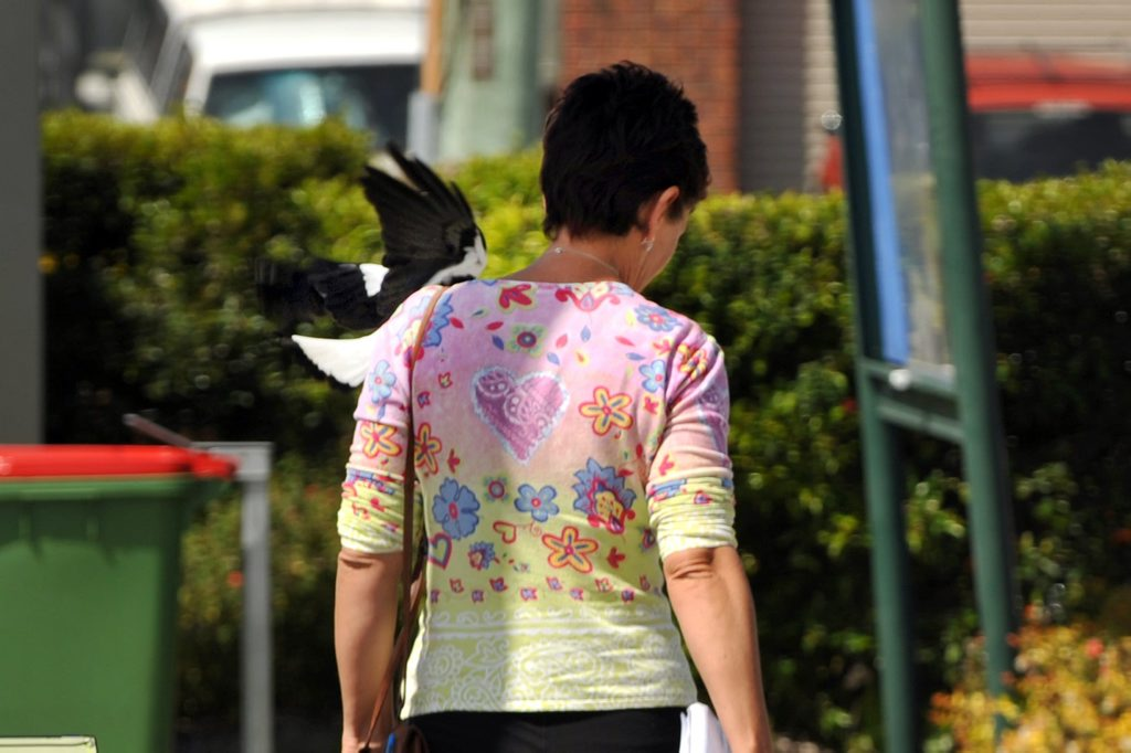 Journalist Kathy Sundstrom gets hit in the neck by a magpie while investigating regular magpie attacks in Aroona.
