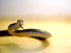 Illegal snake exporters not slippery enough