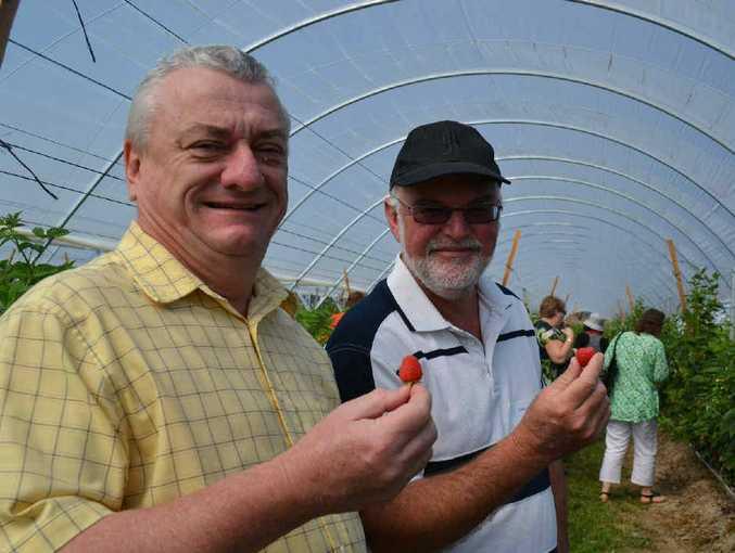 TASTY TREAT: Steve Houlahan and John Bowell sample fresh raspberries.