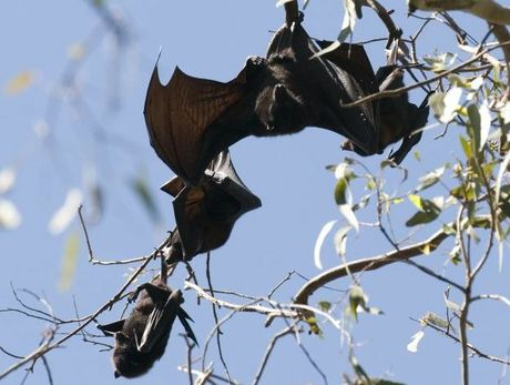 Toowoomba Live Steamers will close if something is not done to move on the thousands of flying foxes that have taken over the Kearneys Spring park, Friday, May 03, 2013. Photo Kevin Farmer / The Chronicle