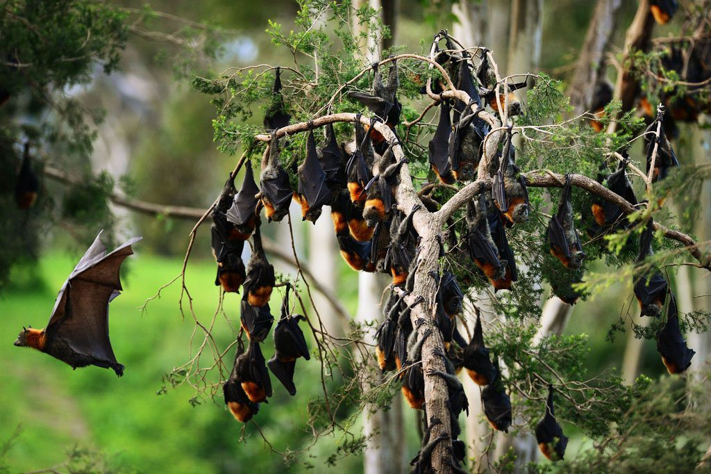 A flying fox colony.