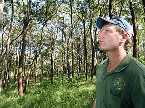 Noosa koalas on hard-knocks highway face grim future