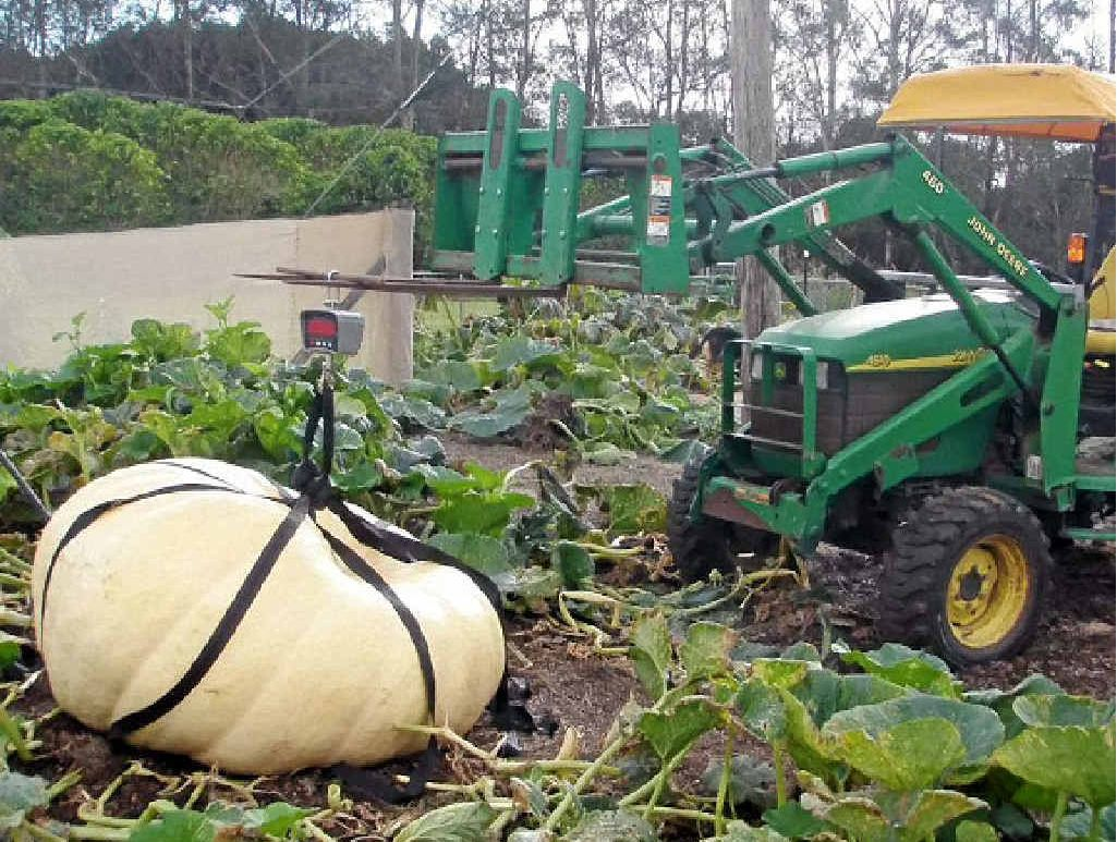HEAVY LOAD: Dale Oliver's 638kg pumpkin gets lifted from the patch.
