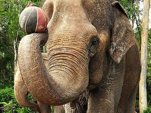 Australia Zoo says goodbye to Bimbo the elephant