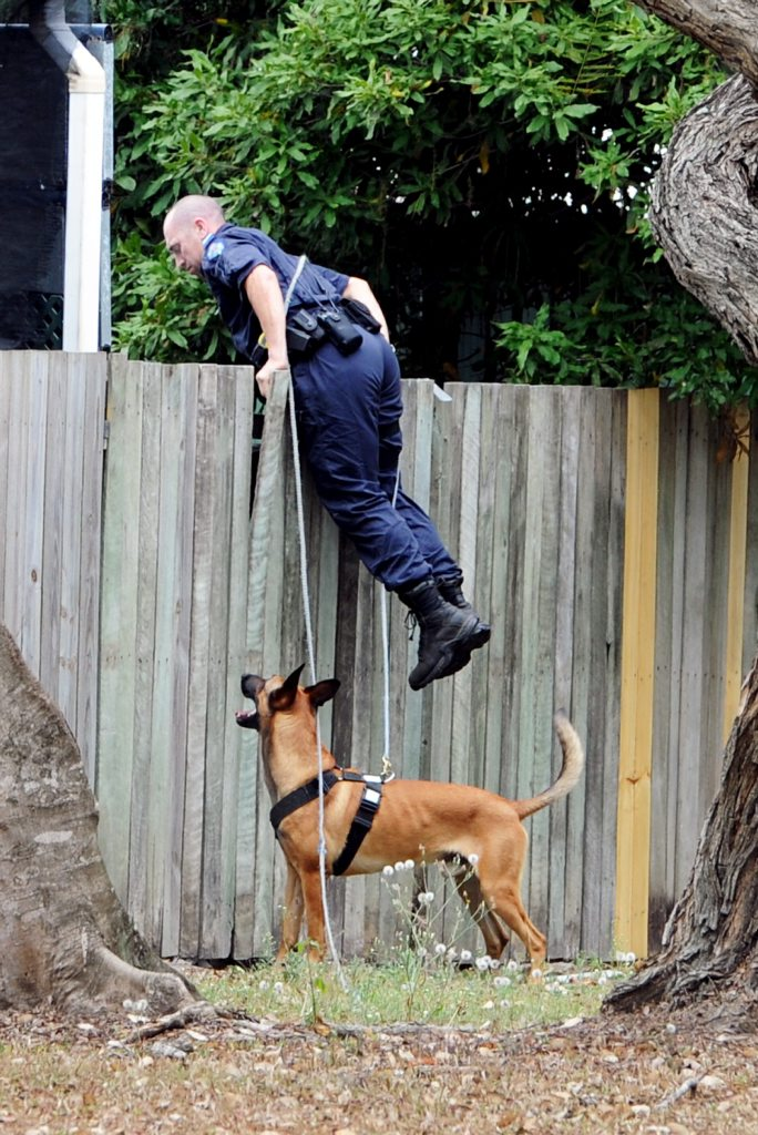 Police dog handler Senior Constable Brendon Dellow and Arkie, the belgian malinois cross dutch shepherd, search Kawungan backyards.