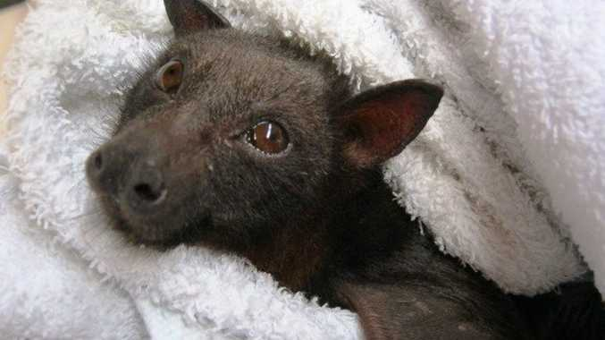 Flying fox photo from Bat Conservation and Rescue Qld member who lives at Crows Nest. Photo Contributed