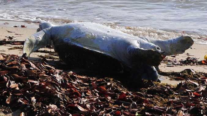 A dead turtle washed up on Spinnaker Park beach on Wednesday, September 18.