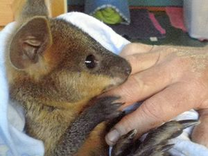Mick saves a wallaby with a kiss (of life)