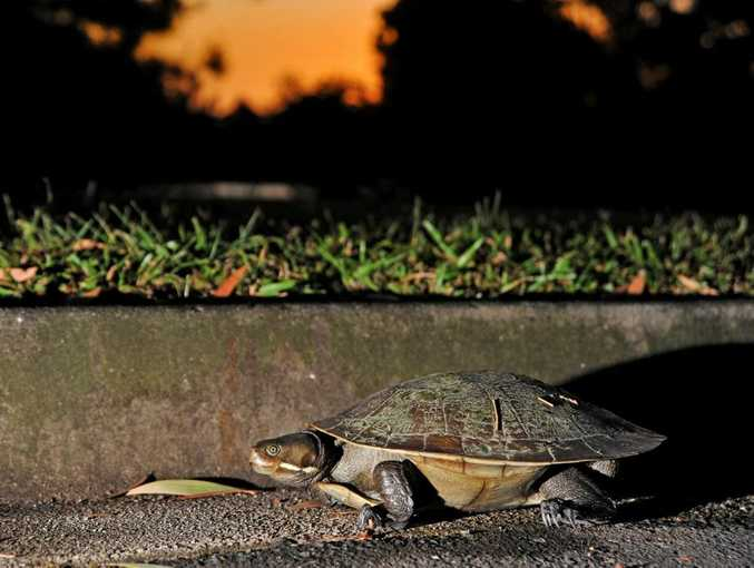A turtle ends up in the Daily's car park at sundown after wandering from the lake. Photo: Iain Curry / Sunshine Coast Daily