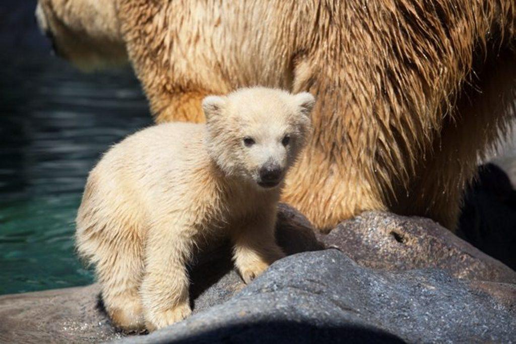 Sea World baby Polar bear cub Henry