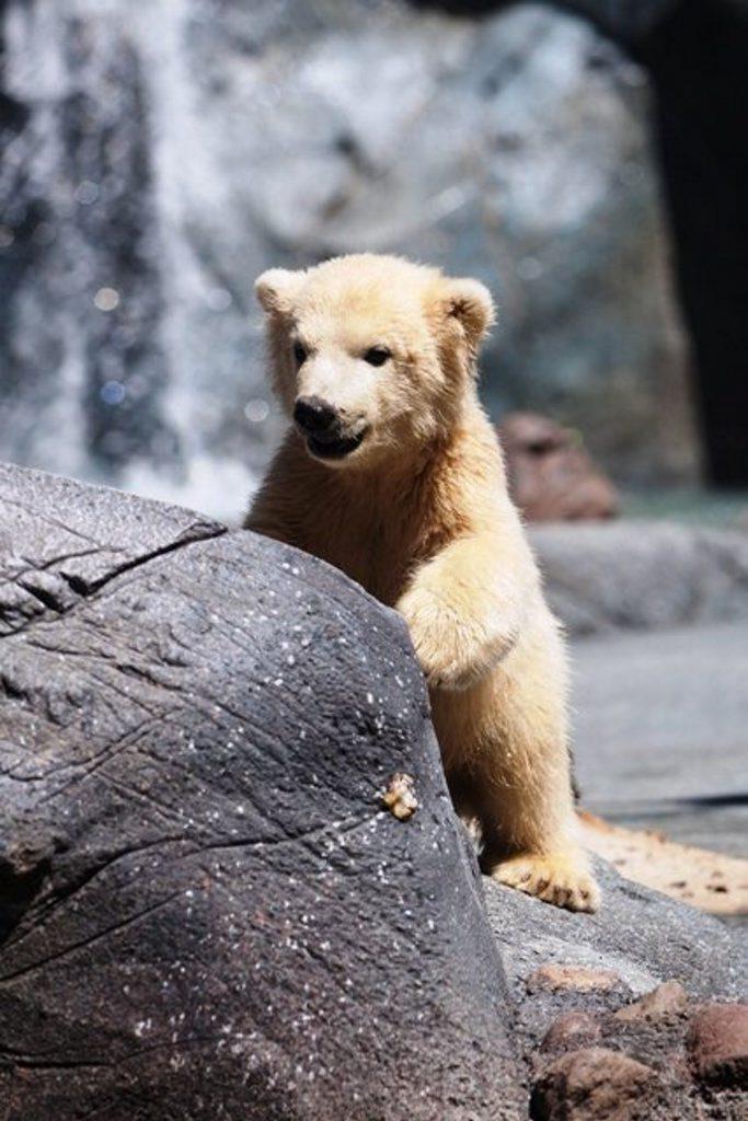 Sea World baby Polar bear Henry
