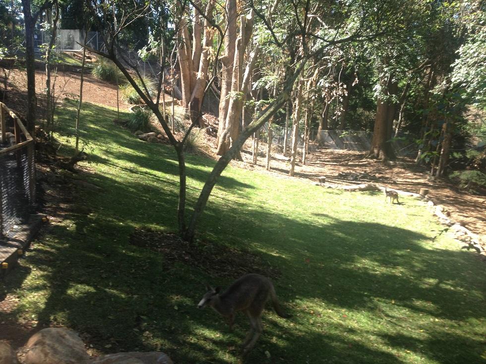 A kangaroo at the Macadamia Castle's new kangaroo and emu enclosure.