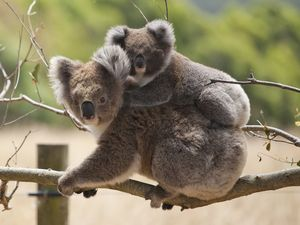 Politicians and Citizen Scientists urged to join koala count